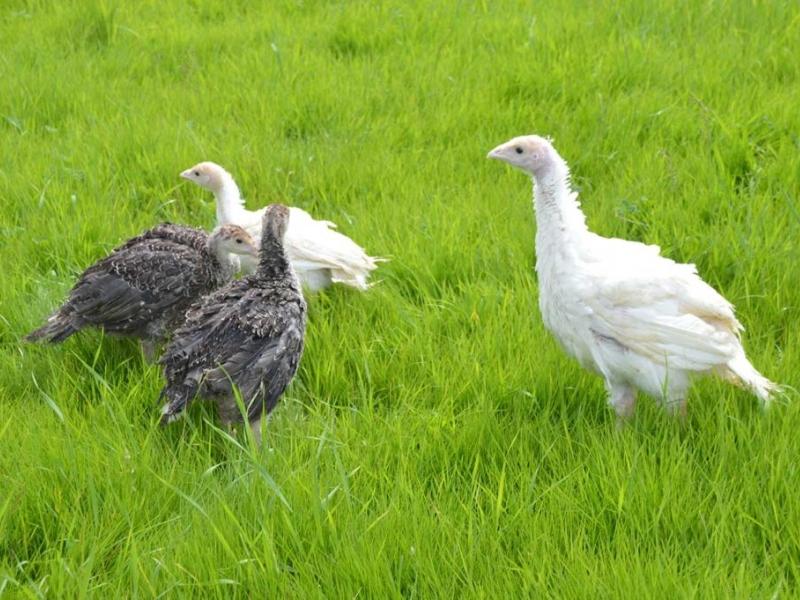 Truthühner und Masthähnchen zum aufziehen - Vorschaubild