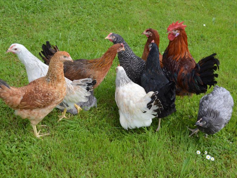 Wichtige Hühnerkrankheiten im Überblick